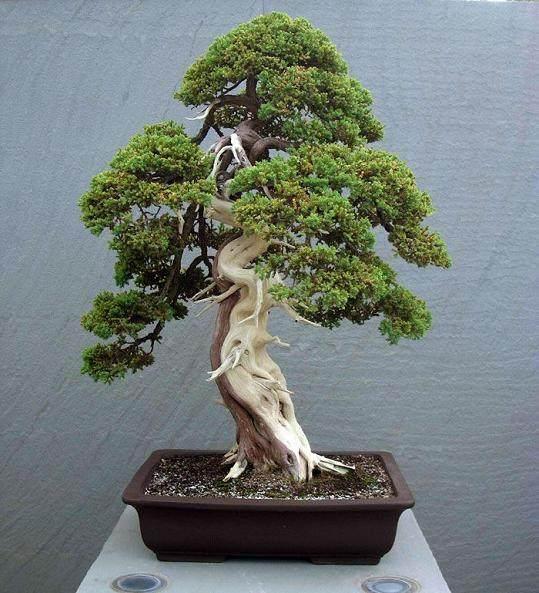 树桩盆景怎样造型?