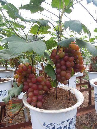 盆栽葡萄发芽后怎么栽植的方法 图片