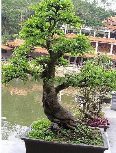 榆树盆景春季发芽后 为什么枯死 图片
