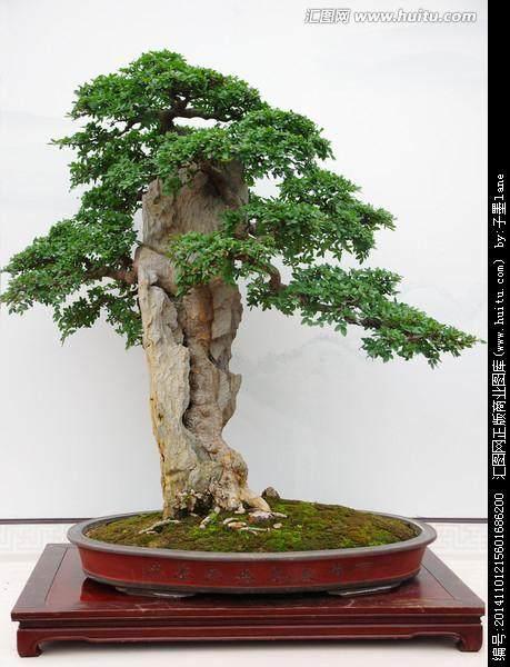 怎样制作和养护榆树老桩盆景