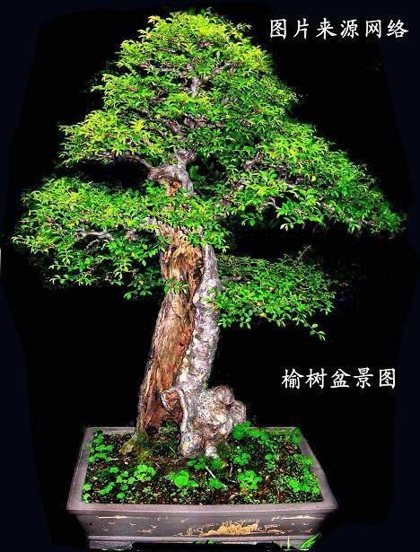 榆树盆景冬季的施肥与换盆