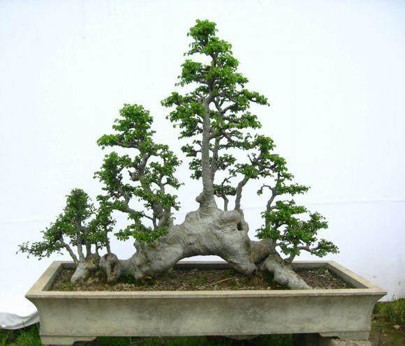 榆树盆景为什么发芽后出现黄叶 图片