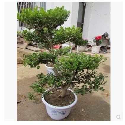 栽植瓜子黄杨老桩盆景怎么上盆养护