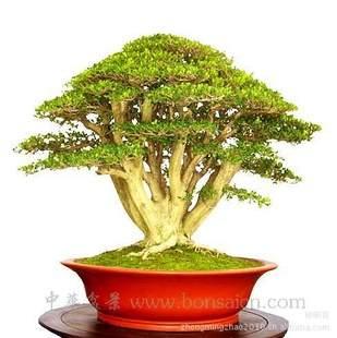 珍珠黄杨盆景怎么育苗栽培的方法