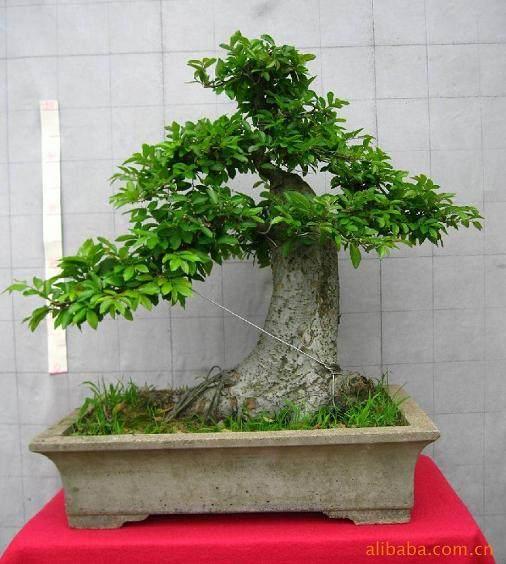 榆树盆景树桩成活后怎么造型的方法