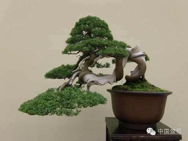 日本精品与福建茶附石盆景欣赏