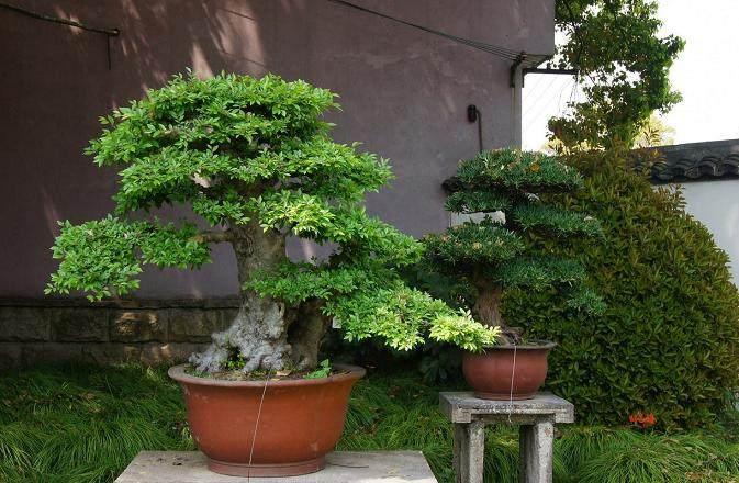 树桩盆景病虫害的防治