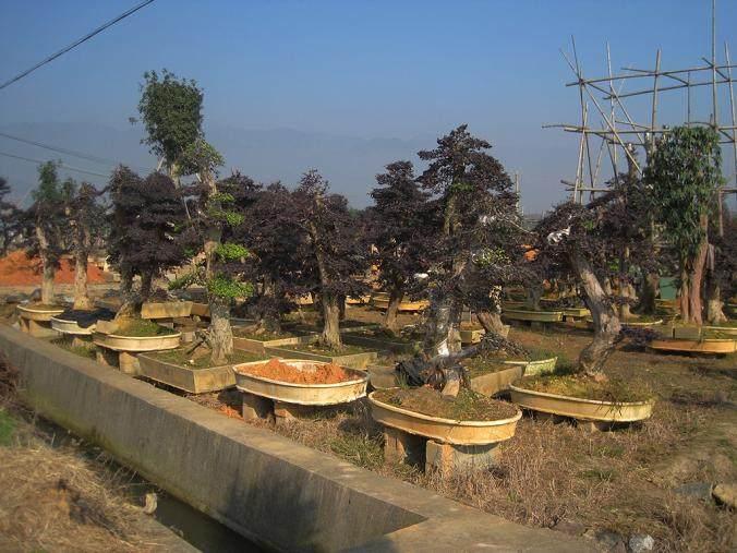 树桩盆景的挖掘和栽培