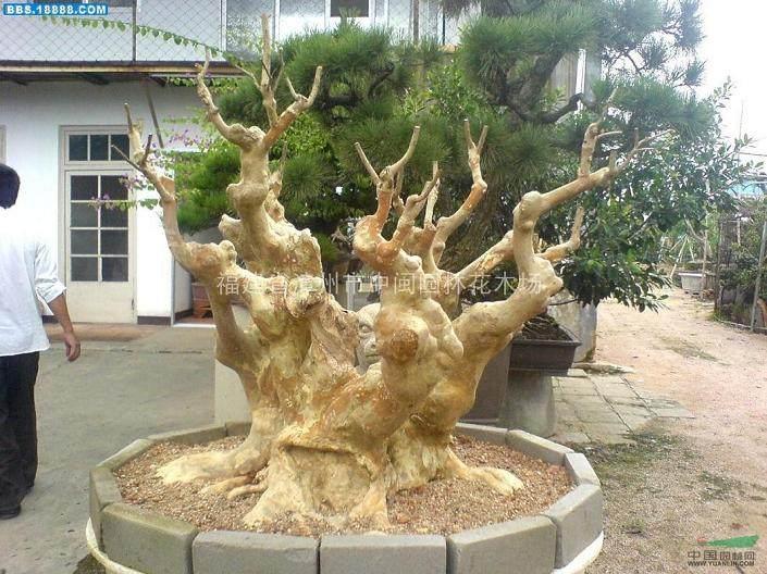 树桩盆景施肥方法