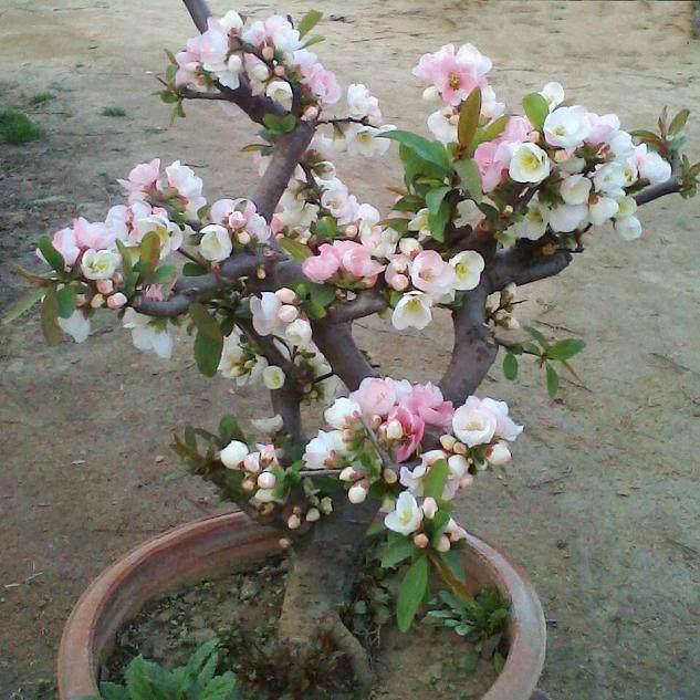 四季海棠亚博app苹果下载的夏季管理