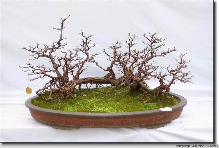 树桩盆景的枝干折损 会影响到整枝造型