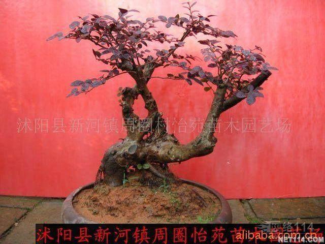 紫叶小檗盆景怎么上盆造型的方法 图片