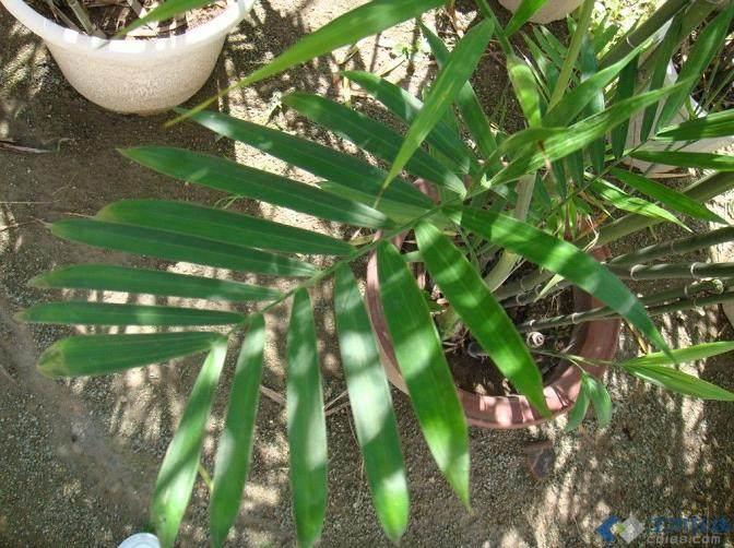 竹类植物常见病害
