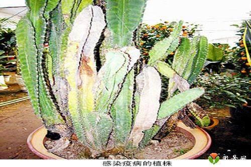 仙人掌类几种常见的病虫害