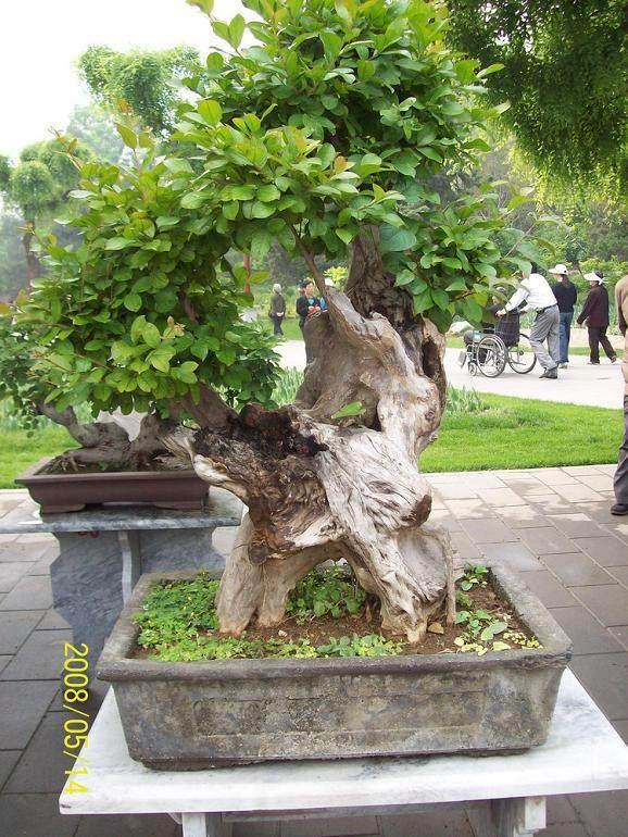 死的树根挖起来怎么做盆景啊?
