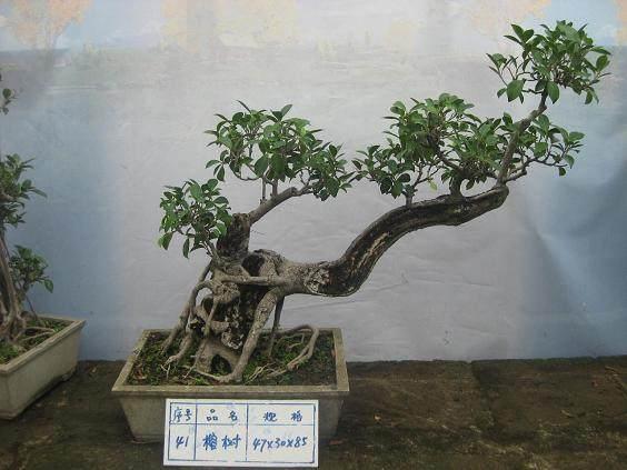挖树根能做盆景吗?