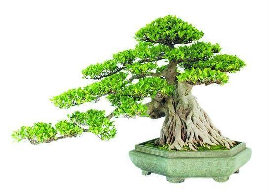榕树盆景在秋天用什么土换盆比较好?