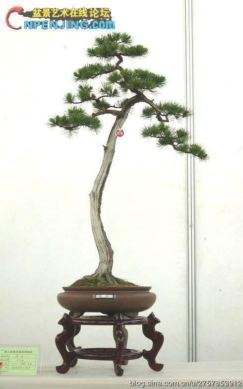 文人树盆景