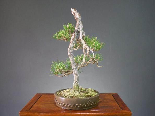 """我说:""""不是什么树都可以叫文人树盆景的"""""""