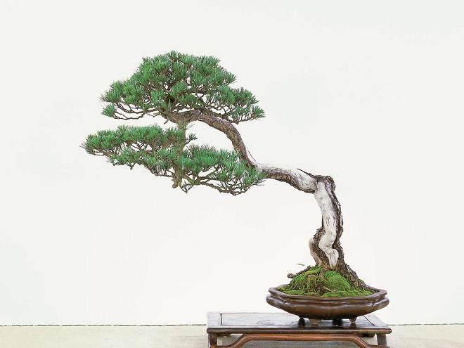 文人树盆景在重庆盆景中的地位