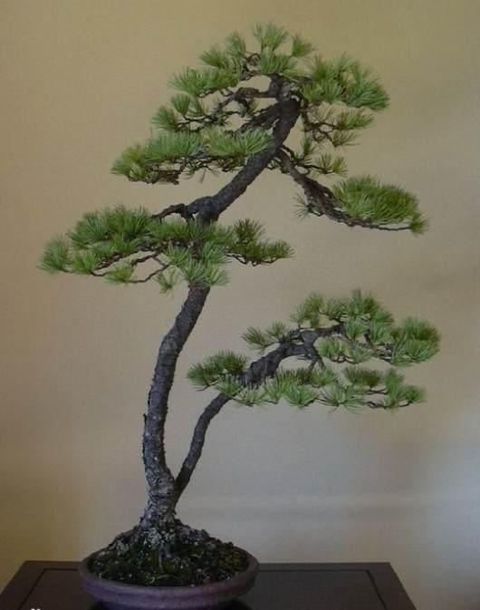 自贡文人盆景树