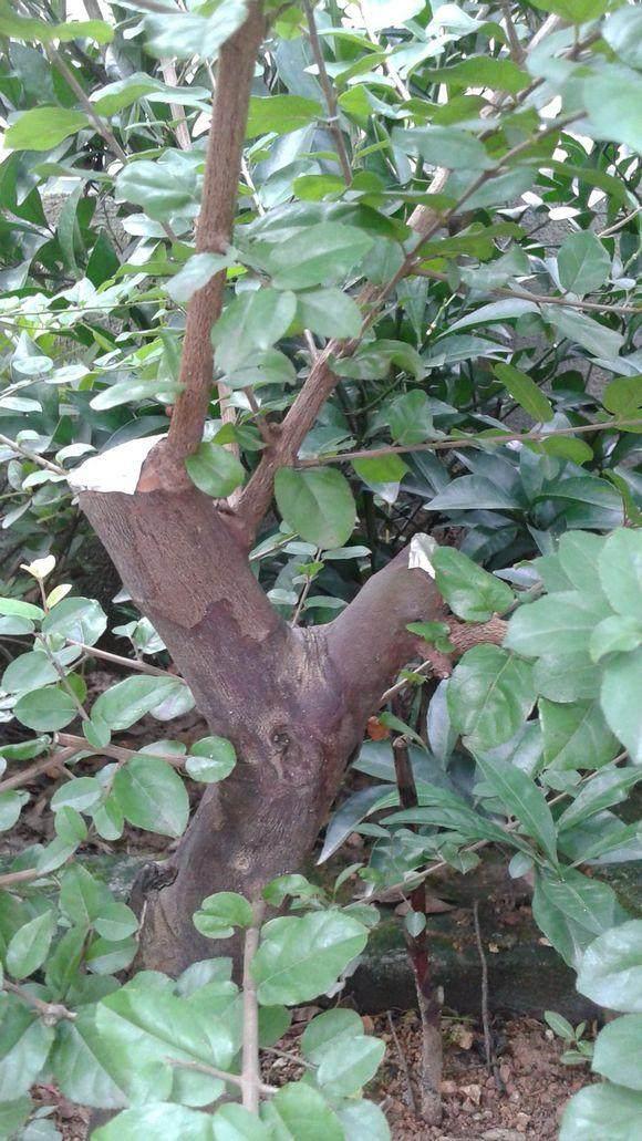 请教雀梅盆景的定枝?