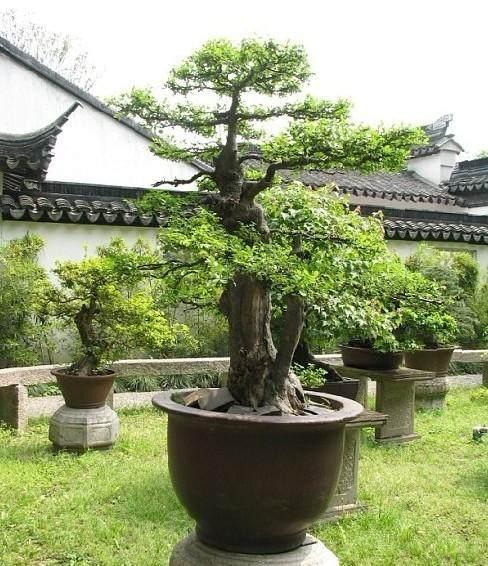 三角枫盆景怎么发芽定枝和修剪 图片
