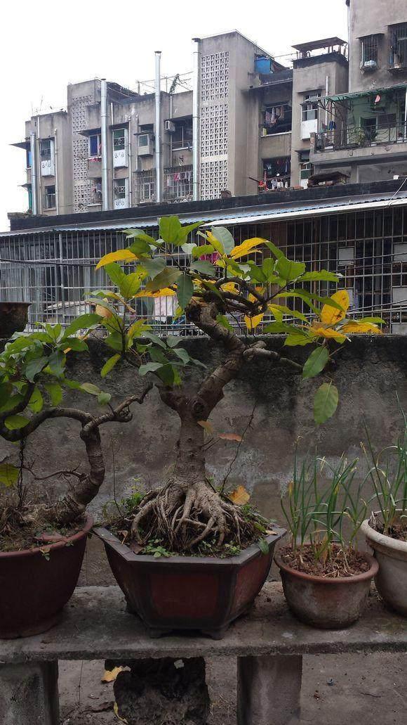 老领导的黄桷树盆景
