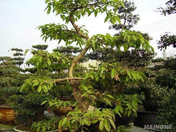 黄桷树盆景