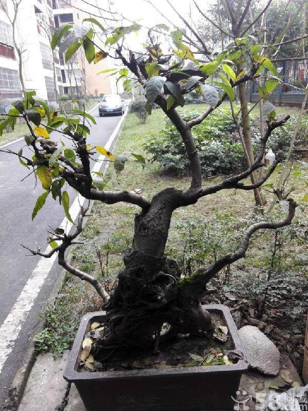 家里可以养黄桷树盆景吗?
