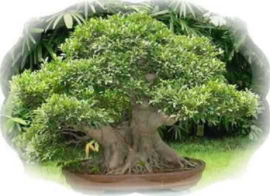 为什么家里不能种黄桷树盆景呢?