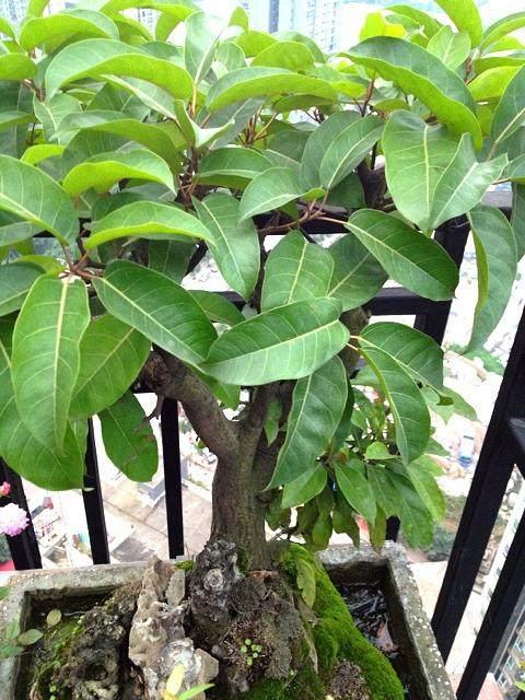 夏季楼顶盆栽黄桷树突然枯萎?
