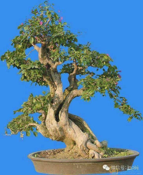 树桩盆景的过冬养护管理