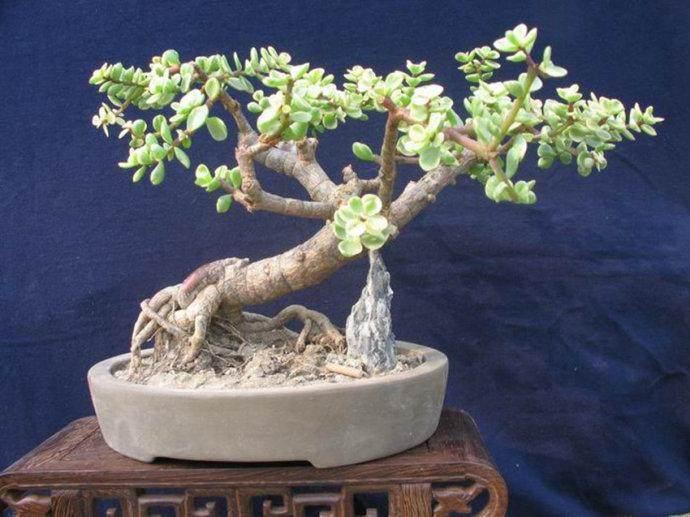 冬天可以移植金银花盆景?