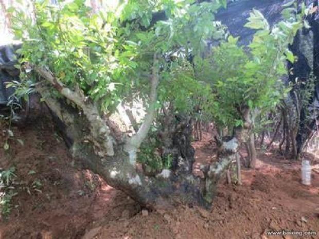 在山上采挖的野生树桩 做盆景材料