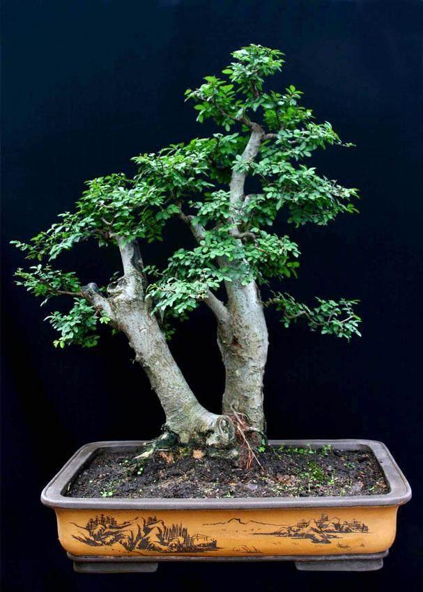 榔榆老桩下山 后栽植也发芽了 芽就是不长是怎么了?