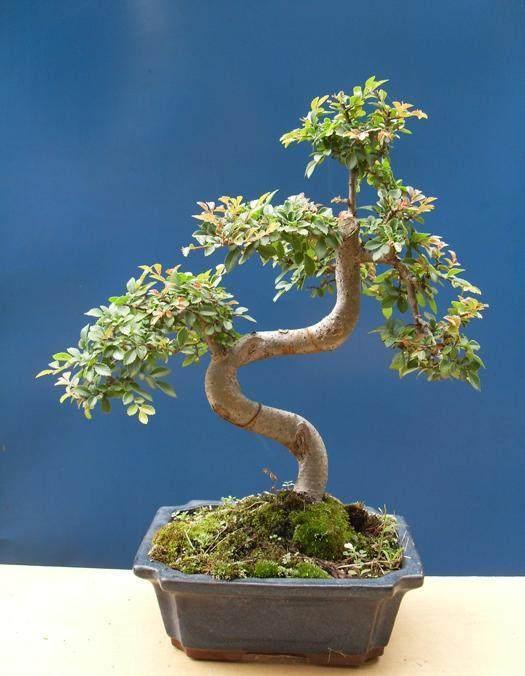 双直杆榔榆盆景怎么设计?