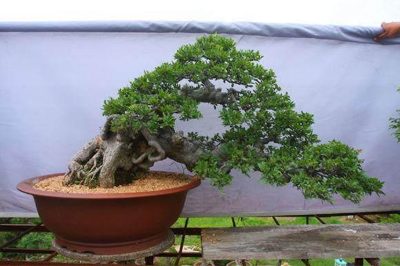 香港的国际盆景大师现场进行榆树盆景的改良制作