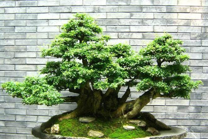 榕树盆景在室内种对风水有影响吗?