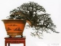 雀梅盆景怎么欣赏与养护方法 图片