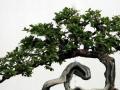 室内榕树老桩盆景在冬天怎么养护 图片