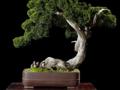 真柏 舍利干式 盆景拍卖估价RMB: 60,000-80,000
