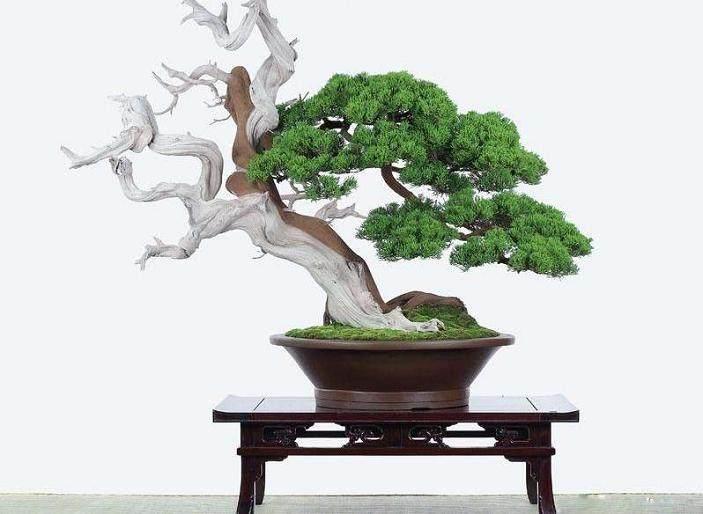 死树做盆景好吗?放在家里对风水有无影响?