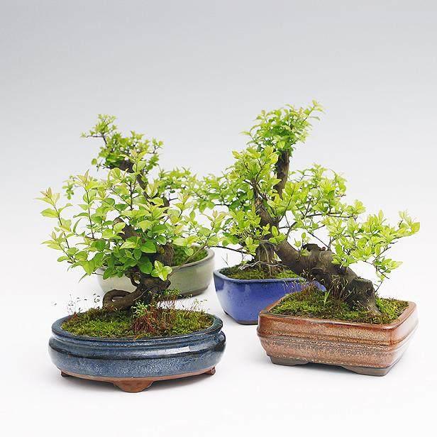 适合室内养殖的小型常绿 盆栽植物?