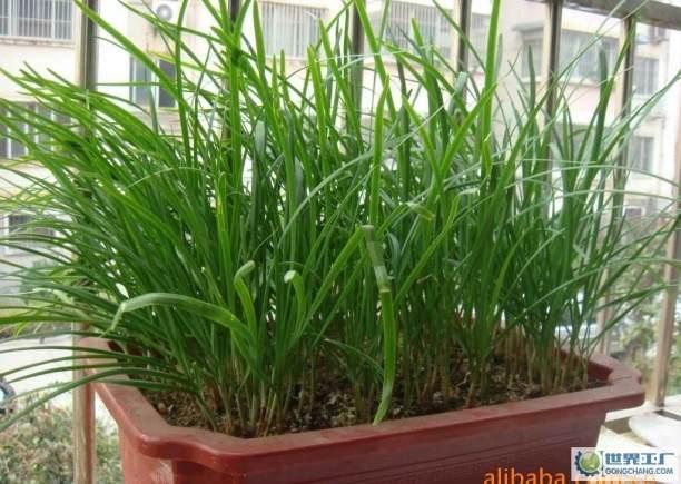 无需施肥打农药自家阳台就能种 盆栽蔬菜受青睐