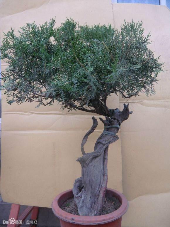 四川省万源市发现已灭绝的植物物种崖柏