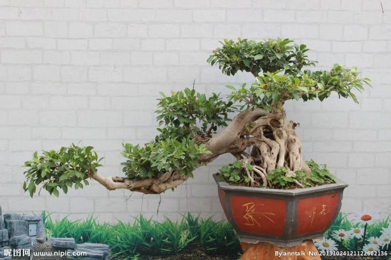 榕树树桩盆景的根有点发黑 正常么?