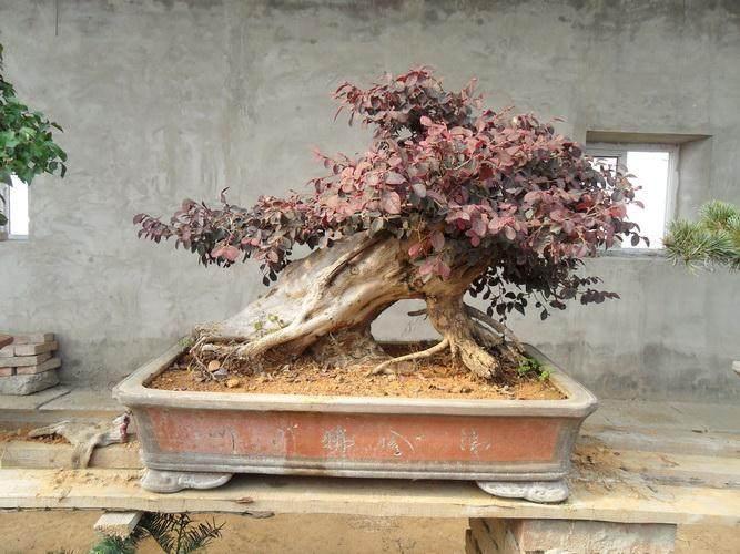 福建武夷山大红袍盆景落户北京