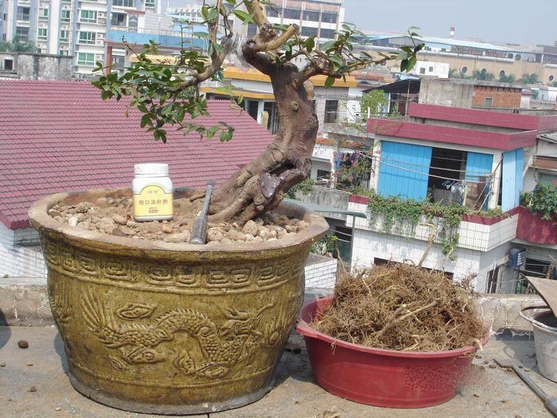 怎么给盆景树换土 盆栽如何换盆?