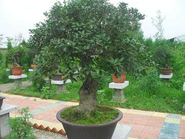 上海:古猗园举行杜鹃盆景展 200余盆罕见盆栽亮相